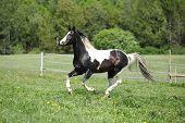 Paint Horse Stallion