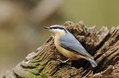 foto of hollow log  - Eurasian Nuthatch  - JPG