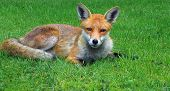 Fox reclined on grass looking directly at camera
