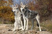 Saarloos Wolfhounds
