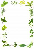 pic of feverfew  - Herb leaf selection forming a frame over white background - JPG