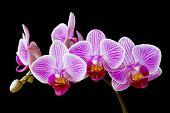 Phalaenopsis moth orchid flowers