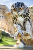 European or Eurasian Eagle Owl, Bubo Bubo, with big orange eyes landing on a tree stump
