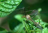 Big Mosquito