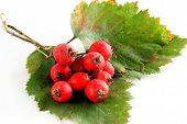 red berries of hawthorn bush