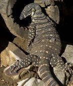 Lace Monitor Goanna