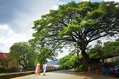Big tree on the street in the city of Kandy, Sri Lanka