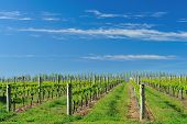 picture of wispy  - lush vineyard under bright blue sky with wispy clouds - JPG