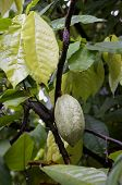 Cacao Tree With Cocoa Beans