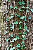 Ivy Ordinary Or Ivy Climbing (lat. Hedera Helix) To The Trunk Of The Tree