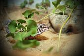 stock photo of terrarium  - leopard gekko lizard hiding on a terrarium - JPG