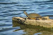 Mud turtle sunbathes on a rock in the pond