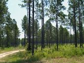 Planted Pine Forest In South Georgia