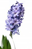 Isolated Hyacinth Cluster