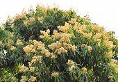 Lychee Flower