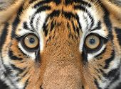 foto of tiger eye  - close up of a bengal tiger eyes