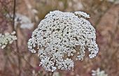 stock photo of dainty  - This is a shot of the delicate plant Daucus carota or Queen Anne - JPG
