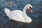 image of polonia  - Beautiful swan and ducks on the lake in Mikolajki - JPG