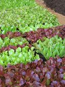 Small Lettuces