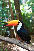 Toco Toucan (common)