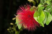 Red Flower Brownea Grandiceps Also Known As Rose Of Venezuella poster