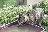 Shorthair tabby cat drinks water