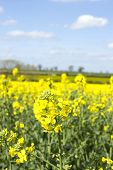 picture of rape-seed  - a field of oil seed rape on a sunny day - JPG