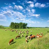 Herd Of Cows Grazing In A Sunny Morning
