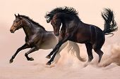 stock photo of fillies  - Two horses run gallop in hot dust - JPG
