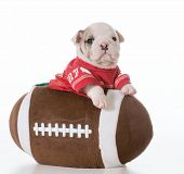 sports hound - bulldog puppy inside a football