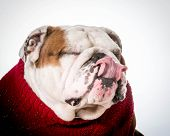english bulldog licking lips