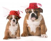 puppy growth - english bulldog at two months old and four months old wearing same hat