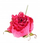 Beautiful pink dried rose, isolated on white