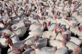 Many Turkeys