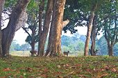 picture of black tail deer  - Barking deer or Muntiacus muntjak in a field of grass - JPG