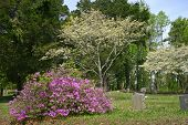 stock photo of bereavement  - an azalea and two dogwood trees blooming in a cemetery