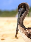 stock photo of playa del carmen  - Beautiful brown pelican on mexican beach in Playa del Carmen - JPG