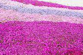 Carpet full of Moss phlox flowers in spring.