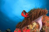 Tomato Anemonefish and Red Anemone on coral reef