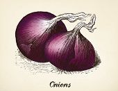 Onions vintage illustration, Red onions vector image after vintage illustration from Brockhaus' Konv