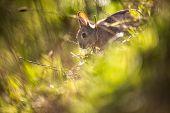 Wild rabbit, Scotland