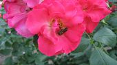 Bee on the pink roze