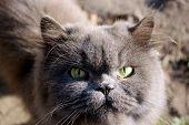 Muzzle Of Nice Persian Cat