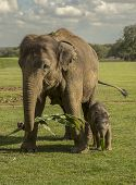 Asian Elephant With Her Calf