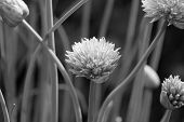 Closeup Of A Chive Flower Head