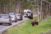 Traffic Jam In Yellowstone