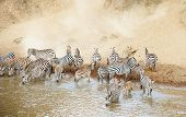 Herd Of Zebras (african Equids) Drinking From The River