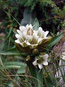 Wild White Gentiana Frigida In The Annapurna Himalayas
