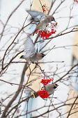 Birds on a branch of rowan