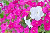 picture of petunia  - Pink and white petunia flowers in garden - JPG
